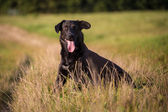 Black dog — Stock Photo