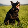 Dog barking — Stock Photo