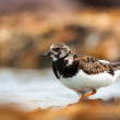 Ruddy Turnstone — Stock fotografie