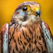 Kestrel — Stock Photo #35011981