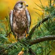 Kestrel — Stock Photo #35014163