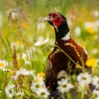 Pheasant — Stock Photo