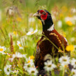 Stock Photo: Pheasant