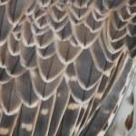 Detail eagle — Stock Photo