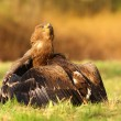 Steppe eagle (Aquila nipalensis) — Stock Photo