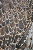 Detail eagle — Foto Stock