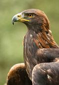 Eagle — Photo