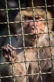 Monkey inside cage — Stock Photo