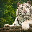 White tiger — Foto de Stock