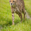 Cheetah — Stock Photo #35056765