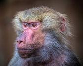 Baboon monkey — Stock Photo