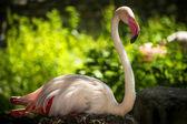 Flamingo — Foto de Stock