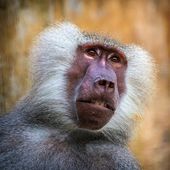 Baboon monkey — Stock Photo