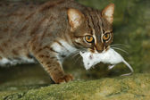 Cat and mouse — Stock Photo