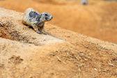 Black-tailed prairie dog — Zdjęcie stockowe