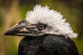 Hornbill — Stock Photo