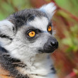 Stock Photo: Lemur