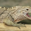 Cuban iguana — Stock Photo