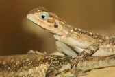 Agama — Stock Photo