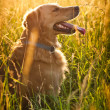 Golden retriever — Stock fotografie