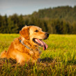 Foto Stock: Golden retriever
