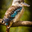 Blue-winged Kingfisher — Stock Photo