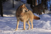 Wild gray wolf — Stock Photo