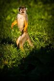 Central American squirrel monkeys — Zdjęcie stockowe