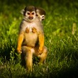 Central American squirrel monkeys — Stock Photo