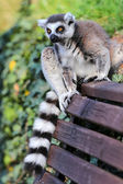 Lemur catta — Stock Photo