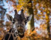 Giraffe — ストック写真