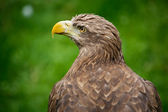 águila — Foto de Stock