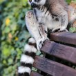 Stock Photo: Lemur catta