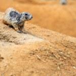 Black-tailed prairie dog — Stock Photo #36599995