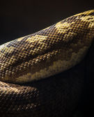Python — Stock Photo