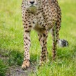 Cheetah — Stock Photo #36601041