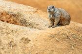 Chien de prairie à queue noire — Photo