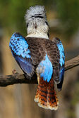 Blue-winged Kingfisher — Foto Stock