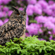 OWL — Stock Photo
