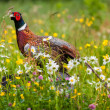 Pheasant — Stock Photo #38072641