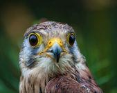 орлан — Стоковое фото