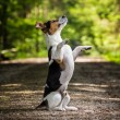 Dog jack russel terrier — Stock Photo #38096193