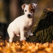 Dog jack russel terrier — Stock Photo #38394323