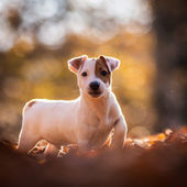 Dog jack russel terrier — Stock Photo