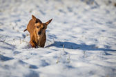 Dog in the snow — Stock Photo
