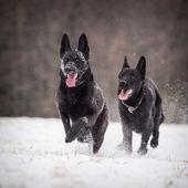 German Shepherd Dogs — Stock Photo