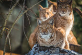 Lince — Foto Stock
