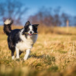 Border collie — Stock fotografie #40185301