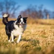 Border collie — Stock Photo #40185301