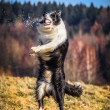 Border collie — Stock Photo #40186925